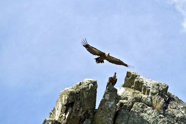 buitres leonados en lo alto de los peñascos y riscos del Salto del Gitano