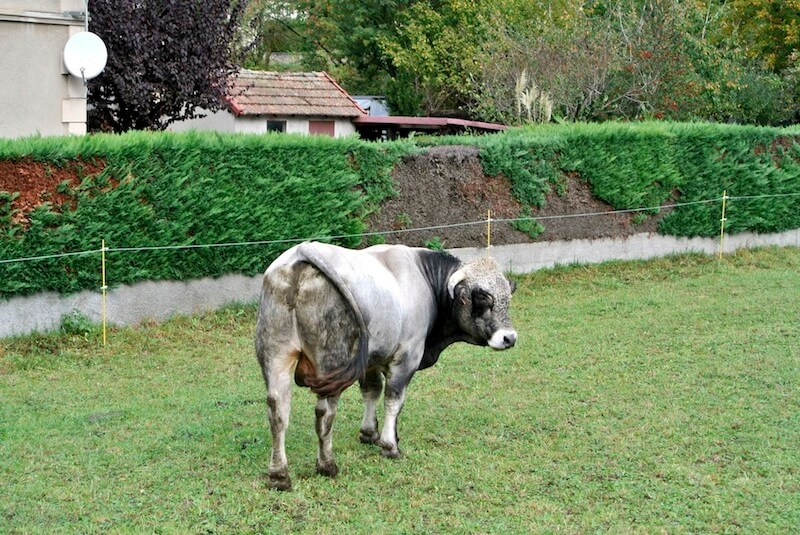 vaca en el sur de francia