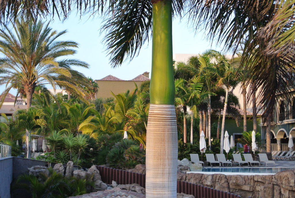 El Hotel H10 Playa de Meloneras en el sur de Gran Canaria. Nos encanta este tipo de palmera.